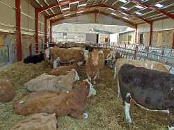 Cattle inside at Cluny Crichton