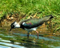 Lapwing picture courtesy of www.copyright-free-pictures.org.uk
